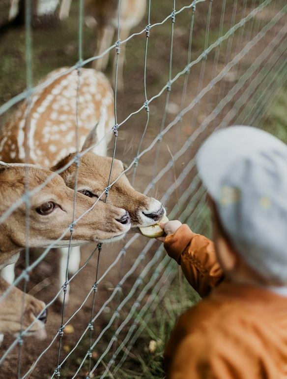 Simple acts of kindness and Compassion: Human feeding deer